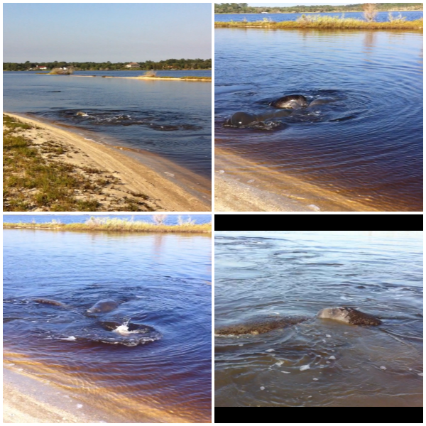 manatee collage