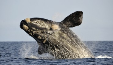 northern-right-whale